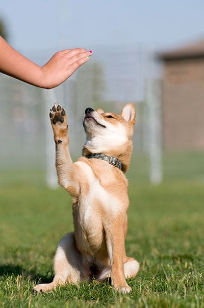 Dog being trained to high-five