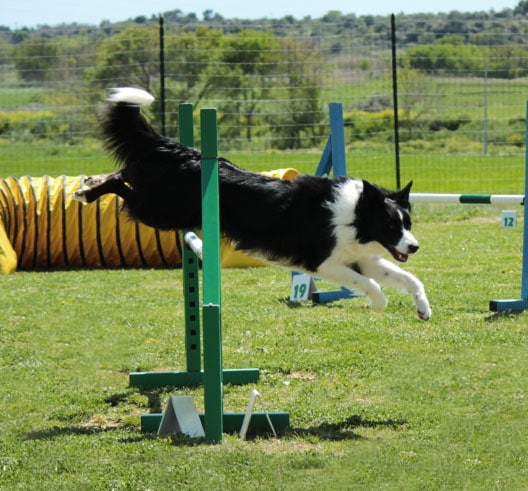 Dog jumping through a hoop
