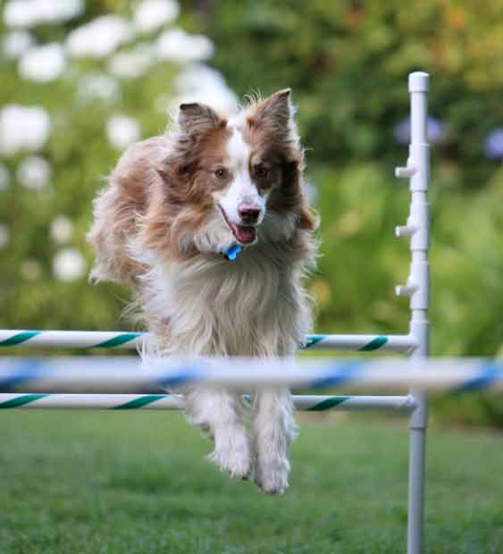 Dog running through obstacle course