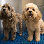 Before and after grooming photo
