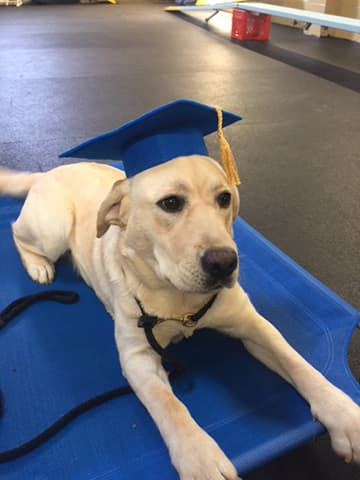 Yellow lab wearing a blue mortar board at training graduation