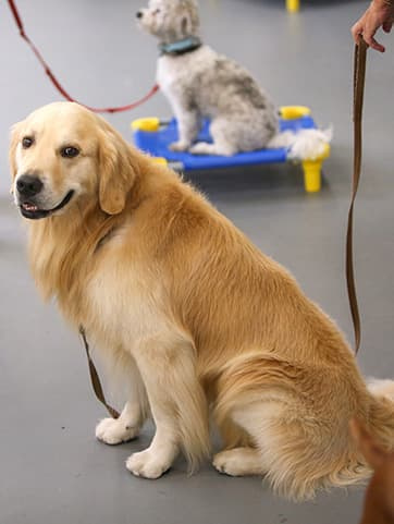 Yellow lab in dog training class