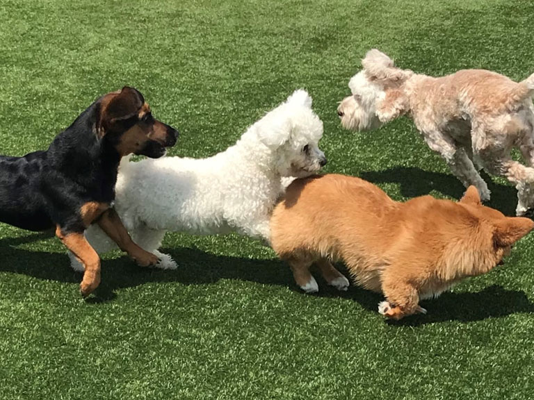 Group of dogs playing