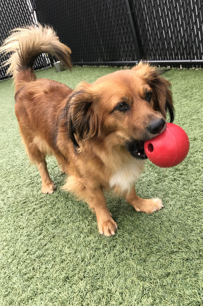 Small dog with a red ball