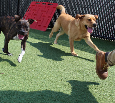 Dogs chasing a staff member