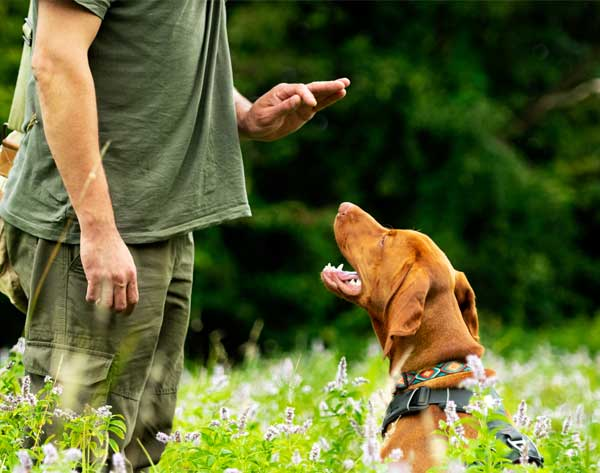 Dog being trained to stay