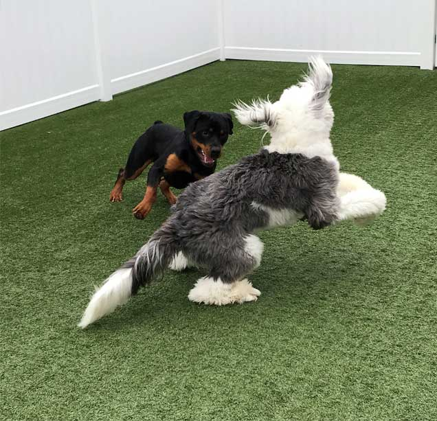 Two dogs playing on the turf
