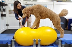 Dog balancing on fitness equipment