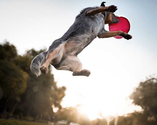 Dog jumping to catch a frisbee