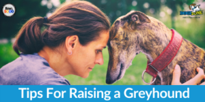 tips for raising a greyhound